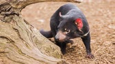 divoký : Tasmanian Devil outside during the day.