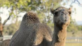 śmieszne : Camels outside amongst nature during the daytime Wideo