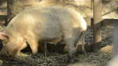 млекопитающие : Miniature pigs on the farm during the day time