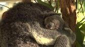 ушки : Cute Australian mother Koala with her joey in a tree resting during the day.