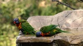 papagaio : Rainbow lorikeets having a bath out in nature during the day.