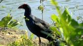 penas : Beautiful Purple Swamphen out in nature during the day