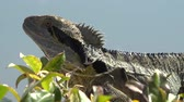 lizard : Eastern Water Dragon outside in nature during the day. Stock Footage