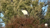 Australian White ibis outside during the day time.