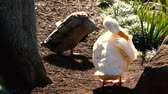 pekin : Pekin duck out in nature during the day time.