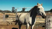 konie : Australian horses in the paddock during the day Wideo