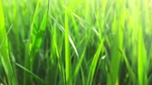 park : Morning grass, slow motion