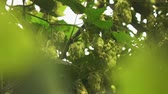 hop garden : green branches and cones of hops sway from the wind