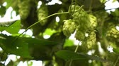 hop garden : wind swings the branches of hops