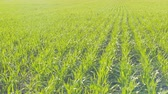 herb : Field of green wheat rows. Close up in sunny weather. Panning. Stock Footage