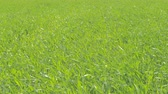 herb : Green wheat field close up. Sunny windy weather. Stock Footage