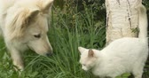 tomcat : White cat and white dog playing at green grass. Stock Footage
