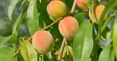 windy : Peach fruits hanging on Peach tree. Close up. Stock Footage