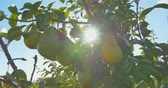 orchard : Pears hanging on a branch in the sunlight