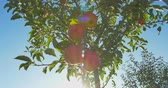 pomar : Apples hanging on a tree in the sunlight Stock Footage