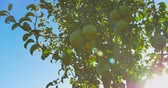 körte : Pears hanging on a branch in the sunlight