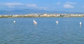 água salgada : Pink flamingos eating, in front of the city of Cagliari, Sardinia, Italy.