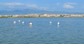 saltworks : Pink flamingos eating, in front of the city of Cagliari, Sardinia, Italy.