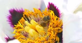 hexapod : Bee collects pollen on Paeonia suffruticosa flower. Close up Stock Footage