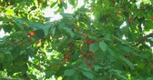 antioxidante : Cherry tree branches in the wind. Many Red ripe berries.