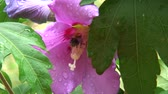 blossom : Bee visiting a pink bloom of hibiscus after the rain.