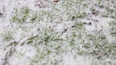 Spring snow falling on green grass. Winter background