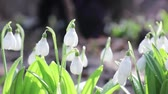 kar taneciği : White blooming snowdrop folded or Galanthus plicatus with water drops in light breeze. Low angle. Sunshine. Sunrise.