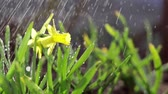 blooming : Yellow blooming daffodil with water drops in light breeze. Sunny day. It rains in sunny day. Low angle. Sunshine. Sunrise. Shallow depth of field.