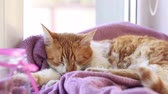 Red white cat kitty sleeping on lilac blanket on the windowsill. Sunlight. Stock Footage