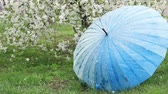 blossom : Cherry blossoms in the garden. Snow falls. Blue umbrella is blown with the wind. Slow motion video Stock Footage