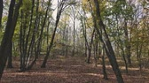 Panoramic motion through a colorful autumn forest woods. Dynamic scene. Stock Footage