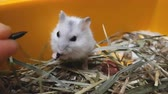 White hamster eat sunflower seeds in yellow box on wood chips and dry grass