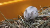 White hamster playing in yellow box on wood chips and dry grass Stock Footage