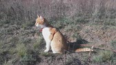 Cute white-and-red cat in a red collar in the grass. Cat is staring at something. Sunny autumn day.