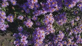Colorful autumn purple aster background. Dynamic scene. Light breeze. Sunny fall day.