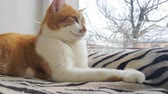 gatinho : Morning sunlight on the relaxed red cat