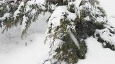 Branch thuja cypress tree covered with snow during blizzard. 4k 30fps video. Dynamic scene.
