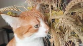 Red-white cat eats the dry rye ears. Cute funny red-white cat, close up. Stock Footage