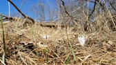 Wild crocus on the forest on a lawn on a hillside in the spring sunny day. Light breeze, dynamic scene.