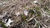 szafran : Wild crocus on the forest on a lawn on a hillside in the spring sunny day. Light breeze, dynamic scene.