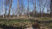 Cute red-white cat in birch grove. Spring sunny day. Light breeze, dynamic scene. Stock Footage
