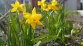 narcis : Yellow blooming daffodil with water drops in light breeze. Sunny day. It rains in sunny day. Low angle. Sunshine. Sunrise. Shallow depth of field.