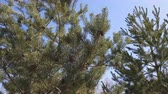 Pine trees. Nature background. Sunny spring day. Light breeze, dynamic scene. 4k video
