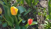 Red and yellow tulips close up in the field. 4k UltraHD video footage Stock Footage