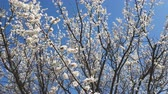 Dynamic scene about branch of a blooming apricot tree on blue sky background. Selective dynamic focus. Stock Footage
