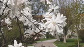 trees landscape : White magnolia blossom in the city park. Light breeze, sunny day, dynamic scene, 4k video.