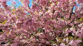 Close up of Pink Blossom Cherry Tree Branch, Sakura, during Spring Season on Pink Background. Beautiful Nature Scene with Blooming Tree and Sun Flare. Light breeze, sunny day, dynamic scene, 4k video. Stock Footage