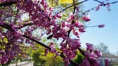 Closeup of pink flower clusters of an Eastern Redbud tree in full bloom. Judas tree or Cercis siliquastrum in spring. Light breeze, sunny day, dynamic scene, 4k video.