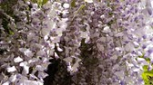 wisteria : Closeup of pink flower clusters of an Wisteria in full bloom in spring. Light breeze, sunny day, dynamic scene, 4k video