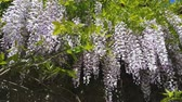 Closeup of pink flower clusters of an Wisteria in full bloom in spring. Light breeze, sunny day, dynamic scene, 4k video